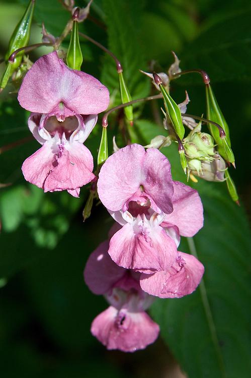 Himalayan Indian balsam (Impatiens glandulifera), late August.