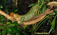0522-1003  Northern Caiman Lizard on Tree Branch (Guyana Caiman Lizard) Climbing in Tree, Dracaena guianensis  © David Kuhn/Dwight Kuhn Photography