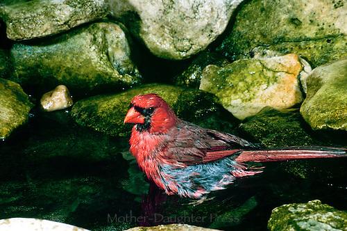 Male cardinal in garden pool bathing among mossy rocks