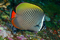 Collar butterflyfish, Chaetodon collare, Similan Islands, Andaman Sea, off the coast of Phang Nga Province, southern Thailand, Indian Ocean