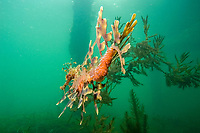 leafy Seadragon, Phycodurus eques, A males tail 1 day after mating. We had followed this individual for several days and had observed he and a female the day before but did not see the actual transfer of eggs, Wool Bay, South Australia, Australia, Southern Ocean