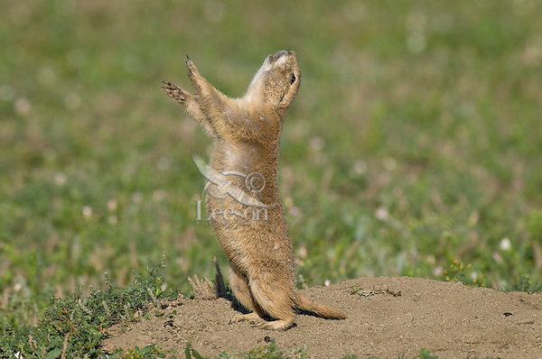 """Black-tailed Prairie Dog (Cynomys ludovicianus) doing a """"jump-yip"""" call.  While not definitive, most prairie dog researchers think it is a signal meaning """"all is clear"""" or """"I'm OK."""""""
