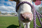 Buttercup, a Holstein Ayrshire mix, visits Fremont Elementary School students in Carson City, Nev., for the cow plop fundraiser, April 15, 2016.<br /> Photo by Candice Nyando