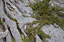 Stunted Yew tree {Taxus baccata} growing in limestone pavement gryke, Gait Barrows National Nature Reserve, Lancashire, UK. September.
