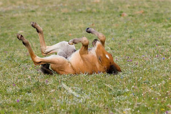 Wild Horse or feral horse (Equus ferus caballus) colt rolling.  Western U.S., summer.