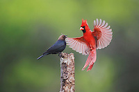 Northern Cardinal (Cardinalis cardinalis), male and Brown-headed Cowbird (Molothrus ater) fighting, Sinton, Corpus Christi, Coastal Bend, Texas, USA