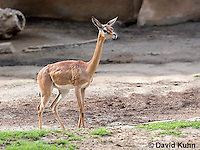 0523-1103  Southern Gerenuk, Litocranius walleri walleri  © David Kuhn/Dwight Kuhn Photography