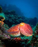 giant cuttlefish, or Australian giant cuttlefish, Sepia apama, Great Barrier Reef, Australia, Pacific Ocean