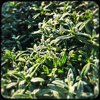 Botanischer Garten in Berlin-Steglitz.<br /> Frost auf Blaettern in der Morgensonne.<br /> 5.12.2020, Berlin<br /> Copyright: Christian-Ditsch.de