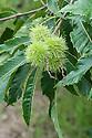 Sweet chestnut (Castanea sativa), early September.