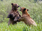 Sequence 9 of 9:  Young bears look like they're dancing as they play fight in the morning sun.  The two animals had just swum across an inlet in the Khutzeymateen Grizzly Bear Sanctuary in Canada's British Colombia when they indulged in some horseplay.<br /> <br /> The images were captured by amateur wildlife photographer Danny Sullivan.  SEE OUR COPY FOR DETAILS.<br /> <br /> Please byline: Danny Sullivan/Solent News<br /> <br /> © Danny Sullivan/Solent News & Photo Agency<br /> UK +44 (0) 2380 458800