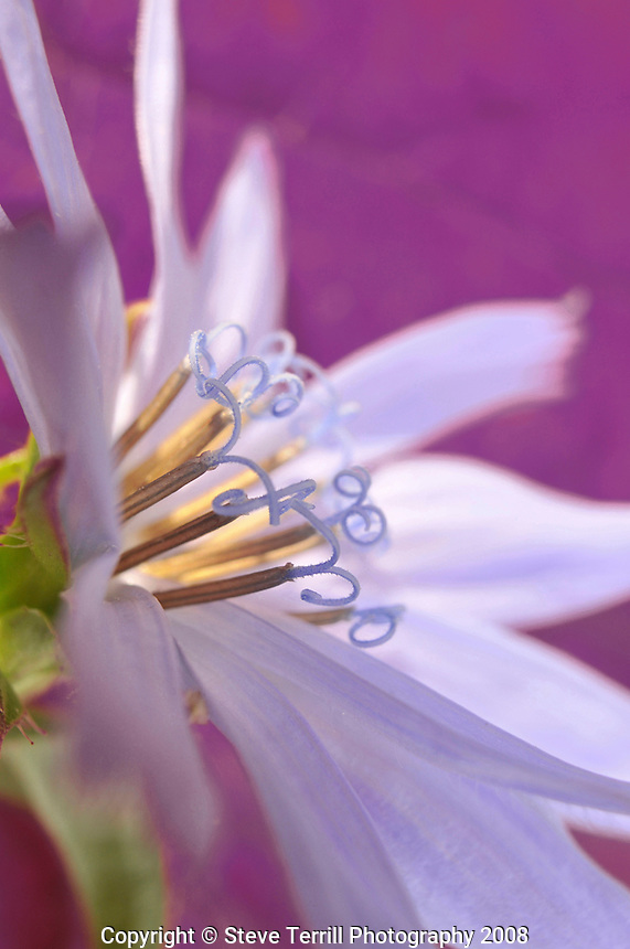 Close-up of chicory wildflower in Portland, Oregon
