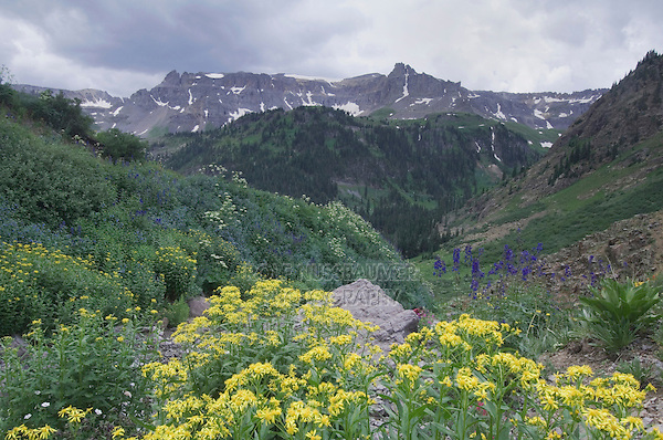 Mountains and wildflowers in Yankee Boy Basin,Tall Larkspur, Arrowleaf Ragwort, Loveroot, Ouray, San Juan Mountains, Rocky Mountains, Colorado, USA