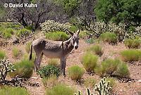 0711-1004  Wild Burro (Feral Donkey), Mojave Desert, Equus africanus asinus  © David Kuhn/Dwight Kuhn Photography