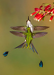 Ecuador, Andean cloud forest, white-booted racket-tails (Ocreatus underwoodii) engage in territorial display
