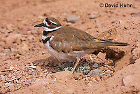 0510-1107  Killdeer, Adult Cooling Eggs in Hot Summer Sun by Shading the Eggs, Charadrius vociferus  © David Kuhn/Dwight Kuhn Photography