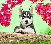 Xavier, ANIMALS, REALISTISCHE TIERE, ANIMALES REALISTICOS, dogs, photos+++++,SPCHDOGS990,#A#