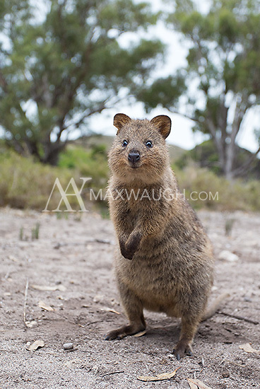 """Quokkas were one of my main goals on this trip.  They are almost exclusively found on Rottnest Island outside of Perth, and are called by some """"the world's happiest animal"""" due to their perpetual smile."""