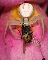 Crab spiders do not build webs to trap prey, but are hunters and ambushers.