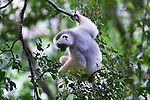 Silky Sifaka (Propithecus candidus). Marojejy National Park, north east Madagascar (Critically Endangered).
