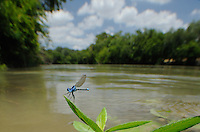 Blue-ringed Dancer (Argia sedula), Damselfly in Colorado River, McKinney Roughs Park, Bastrop County, Central Texas, USA