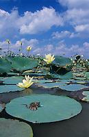 Western Cottonmouth, Agkistrodon piscivorus leucostoma, young sunning on American Lotus(Nelumbo lutea) lily pad, Welder Wildlife Refuge, Sinton, Texas, USA