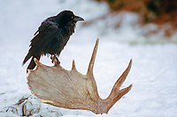 common raven, Corvus corax, sitting on a moose antler, Alces alces, in the foothills of the Takshanuk mountains, Alaska, USA
