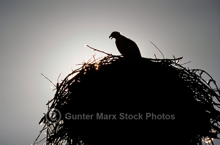 Silhouette of Osprey (Pandion haliaetus) sitting on Nest
