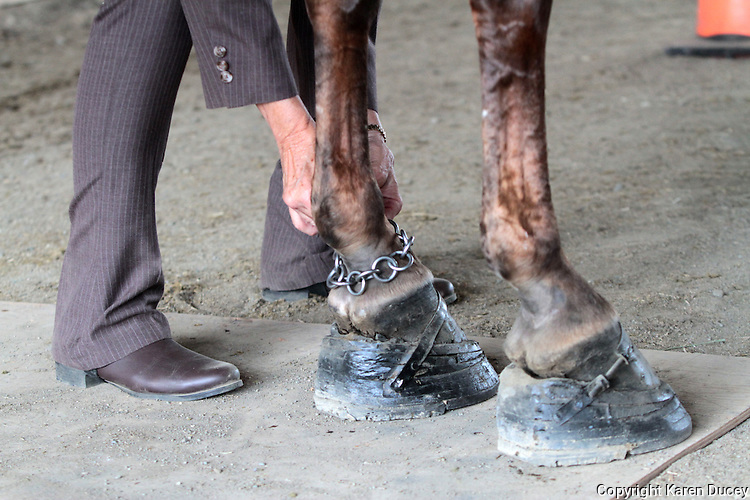 Sue Williams, from McCleary, Wash., puts chains around the ankles of her horse, Tee Time, who is wearing padded horse shoes, during the Northwest Walking Horse Classic in Spanaway, Wash. on July 11, 2015.  The practice is controversial and will become illegal if the PAST Act passes legislation in 2016. (© Karen Ducey Photography)