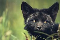 A black colored red fox baby, Vulpus vulpus, Yukon Territory, Canada