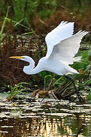 Great Egret leaving the pondage