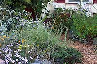 Nassella pulchra, purple needlegrass, California native plant and State grass in Sibley drought tolerant front yard perennial border garden, Richmond California