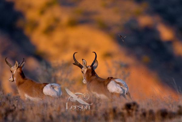 Pronghorn Antelope (Antilocapra americana) bucks running--dominate (larger buck on right) buck chasing off smaller rival during fall rut.