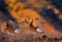 Pronghorn Antelope (Antilocapra americana) bucks running--dominate (larger buck on right) buck chasing off smaller rival during fall rut.