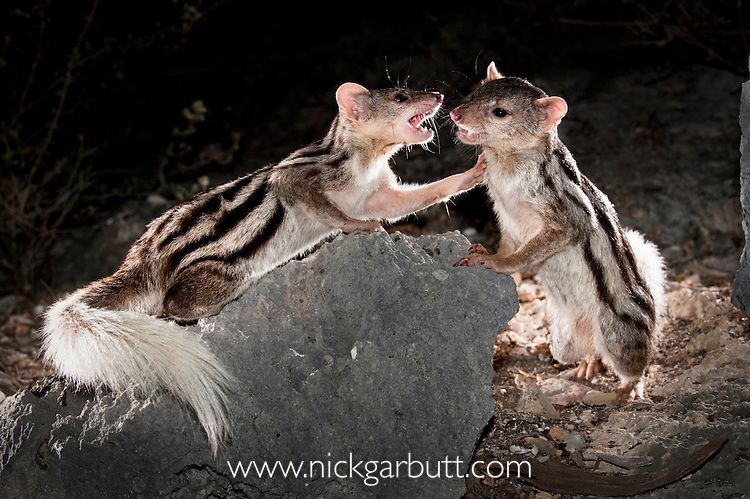 Grandidier's Mongoose or Giant Striped Mongoose (Galidictis grandidieri) fighting at night. Western edge of the Mahafaly Plateau, Lac Tsimanampetsotsa National Park, south west Madagascar. (IUCN: Endangered)