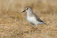 Adult Semipalmated Sandpiper (Calidris pusilla) in breeding plumage. Seward Peninsula, Alaska. June.