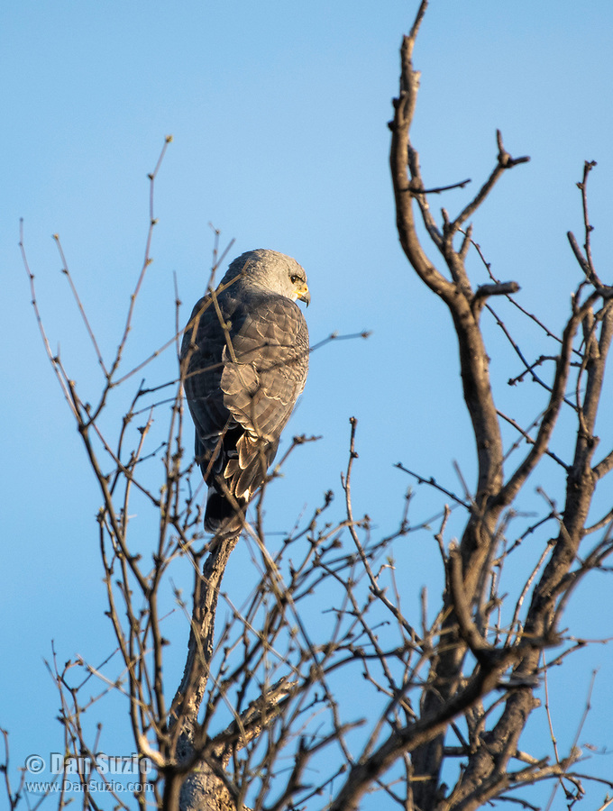 Gray Hawk, Buteo plagiatus, perches in a tree near Patagonia Lake State Park, Arizona