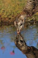 Wild Turkey, Meleagris gallopavo, female drinking, Lake Corpus Christi, Texas, USA, April 2003