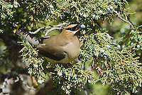 Cedar Waxwing, Bombycilla cedrorum, adult eating juniper tree berries, Yellowstone NP,Wyoming, September 2005