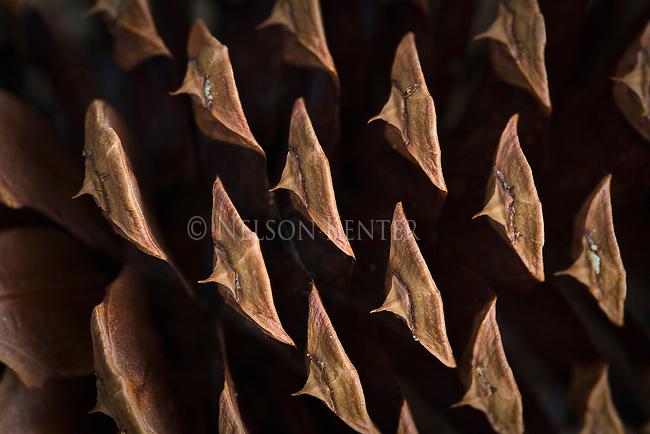 Close up view of a Ponderosa Pine Cone