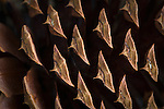 Close up view of a Ponderosa Pine Cone