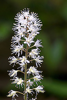 Close-up of the terminal raceme of a Foamflower (Tiarella cordifolia), Delaware County, Ohio, USA