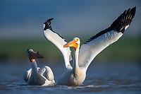 American White Pelican (Pelecanus erythrorhynchos). Lake County, Oregon. June.