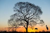 Mating pair of Jabiru storks (Jabiru mycteria) continue the search for food, as the sun sets over The Pantanal, Brazil.