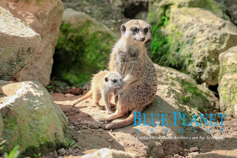 Meerkats (Suricata suricatta), adult with pup, alert, Germany, Europe