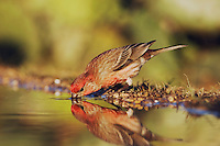 House Finch, Carpodacus mexicanus, male drinking, Uvalde County, Hill Country, Texas, USA, April 2006