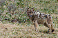 """The gray wolf (Canis lupus) is generally monogamous, with mated pairs usually remaining together for life, unless one of the pair dies. Upon the death of one mated wolf, pairs are quickly re-established. Since males often predominate in any given wolf population, unpaired females are a rarity. If a dispersing male wolf is unable to establish a territory or find a mate, he will mate with the daughters of already established breeding pairs from other packs. Such wolves are termed """"Casanova wolves"""" and, unlike males from established packs, they do not form pair bonds with the females they mate with. Some wolf packs may have multiple breeding females this way, as is the case in Yellowstone National Park."""