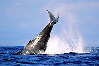 humpback whale, peduncle throw, .Megaptera novaeangliae, .Hawaii (Pacific).