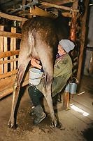 Olga Salomasova milking a Eurasian elk, Alces alces, at the Sumarakova Eurasian elk farm. Kostroma, Russia, Arctic