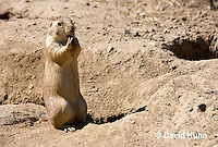 0601-1011  Black-tailed Prairie Dog On Watch by Burrow Hole Entrance, Cynomys ludovicianus  © David Kuhn/Dwight Kuhn Photography